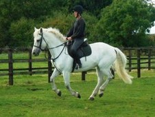Superb 15 hands connemara gelding