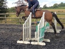 14. 3hh Bay Thoroughbred Mare 11 years old