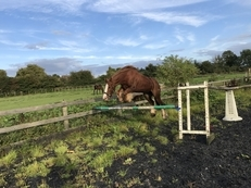 13.2 8 year old chestnut mare for sale