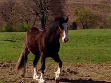 Charm: 4 yr Old WPCS Bay Filly