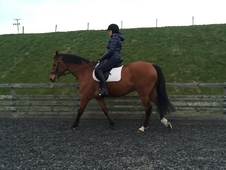 Arab Part Bred Gelding 16 1