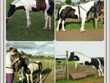Beautifully marked piebald mare