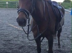 15.2hh Welsh X for loan