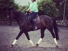 Stunning Riding Club/Dressage/ Show Horse