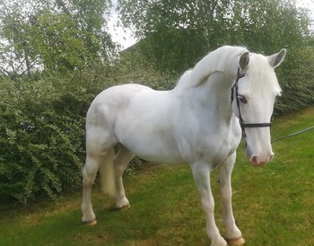 Lovely genuine  Riding club  pony