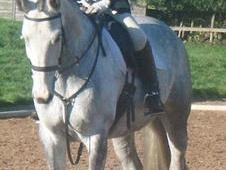 Stunning 17hh Oldenburg Mare