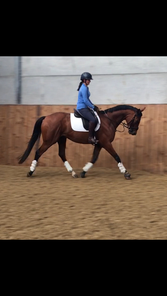 16.1 4year old gelding PERCY