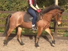 13. 2hh Strawberry roan registered new forest