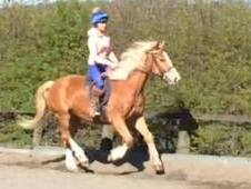 ****SOLD**15. 3hh 10 year old Gelding allrounder