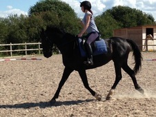 Fantastic dressage school mistress or sports horse broodmare