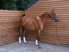 Exceptional 2014 Warmblood mare - Ready to be backed