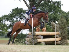 BE100, German WB, Bay, Gelding, 11 years, 16. 3 hands