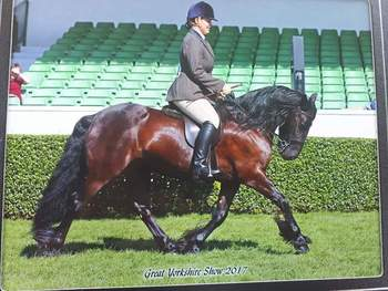 Schoolmaster fell pony for sale 13.2h