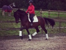 16. 2 4yo Multi champion PRE stallion for sale