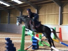 6yr old, Dark Grey, Mare