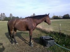 11yo TB Gelding ROR Eligible Potential Grassroots Eventer