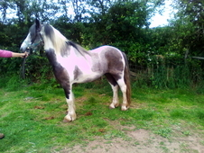 Stunning homebred blue and white gelding