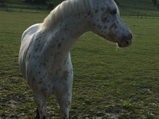 12. 2 pony for loan-brighton