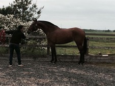 16hh 4yo PRE (Andalusian) mare for sale