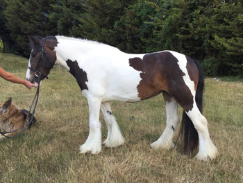 12.3, 3yrs, traditional cob mare