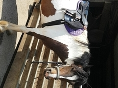 13.2hh dartmoor hill pony