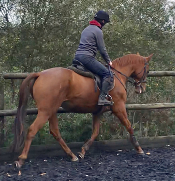 15.3HH 9 year-old Part bred Chestnut Mare