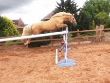 16. 3 palomino gelding by treliver decanter