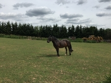 Cob pony to loan