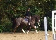 STUNNING LIVER CHESTNUT RIDING CLUB/ALLROUNDER