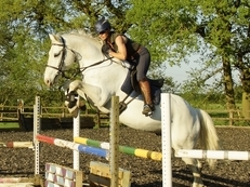 Lovely Irish Sport Horse gelding