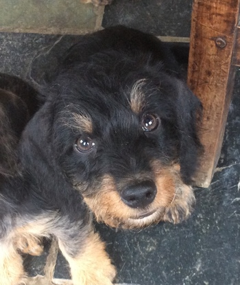 Wire Haired Miniature Dachshund Male puppy