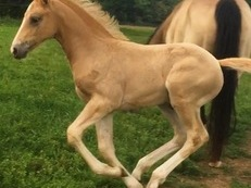 Outstanding Palomino Colt