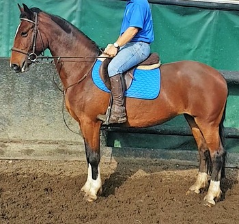 welsh D ride and drive mare