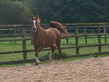 Arab mare for sale