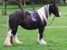 Three year old Black Tobiano Traditional Gypsy Cob Filly
