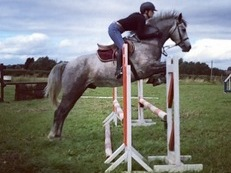15.3hh 5yo registered Connemara.