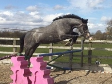 Irish sport horse gelding - 4 years old