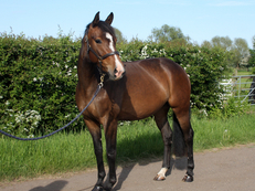 Pink papered Hanoverian Mare by Classic Juan - 4 years old