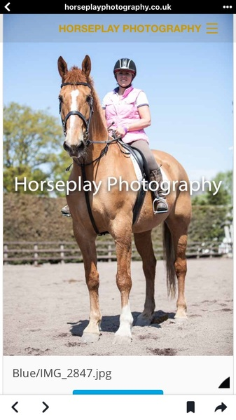 18.2 hh chestnut Irish sports horse