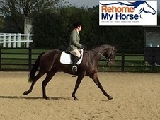 Neville, 15. 3h Thoroughbred, 6 years, PART LOAN - Buckinghamshire
