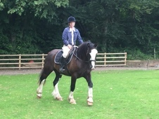 FOR SALE - 15hh Cob Gelding