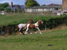 Lovely Skewbald Yearling Filly to make around 13hh Welsh D X Trad...