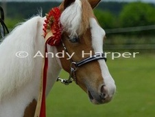 Beautiful 4year old miniature gelding