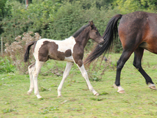 Cosmo - a well-marked skewbald sportshorse colt
