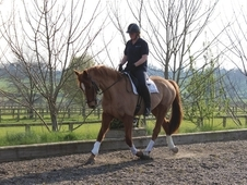 Stunning 16. 1hh Irish sports horse