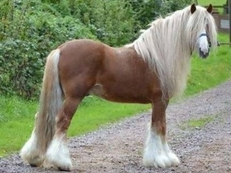 Traditional cob stallion