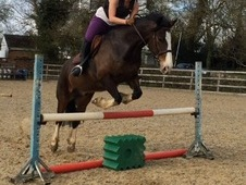 Handsome 15. 2hh Bay Gelding