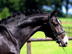 Outstanding Dutch Warmblood Gelding For Sale at £9000 GBP