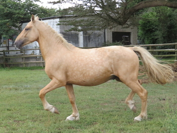 SMART 2 YEAR OLD PALOMINO WELSH PART-BRED ( 7/8 WELSH D ) COLT WITH A WONDERFUL TEMPERAMENT AND A GOOD HEIGHT - OTHER QUALITY STOCK AVAILABLE FOR SALE,WITH EXCELLENT BLOODLINES AND TEMPERAMENT