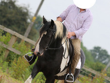 Delightful ride and drive cob mare 14. 2hh 11 years old